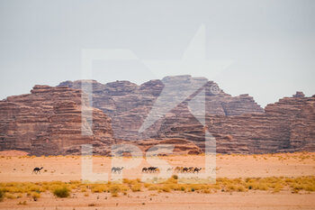 13/01/2021 - illustration, camels, landscape, paysage during the 10th stage of the Dakar 2021 between Neom and Al-Ula, in Saudi Arabia on January 13, 2021 - Photo Antonin Vincent / DPPI - 10TH STAGE OF THE DAKAR 2021 BETWEEN NEOM AND ALULA - RALLY - MOTORI